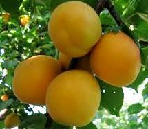 Foto de duraznos o melocotones colgados del arbol