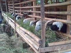3 Cara Ternak Domba Yang Cepat Gemuk Dan Hasil Panen Maksimal
