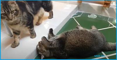 cara membuat kucing gemuk dengan bulu halus dan sehat