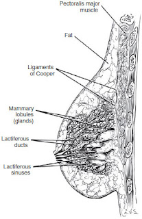 Sagittal section of the breast anatomy