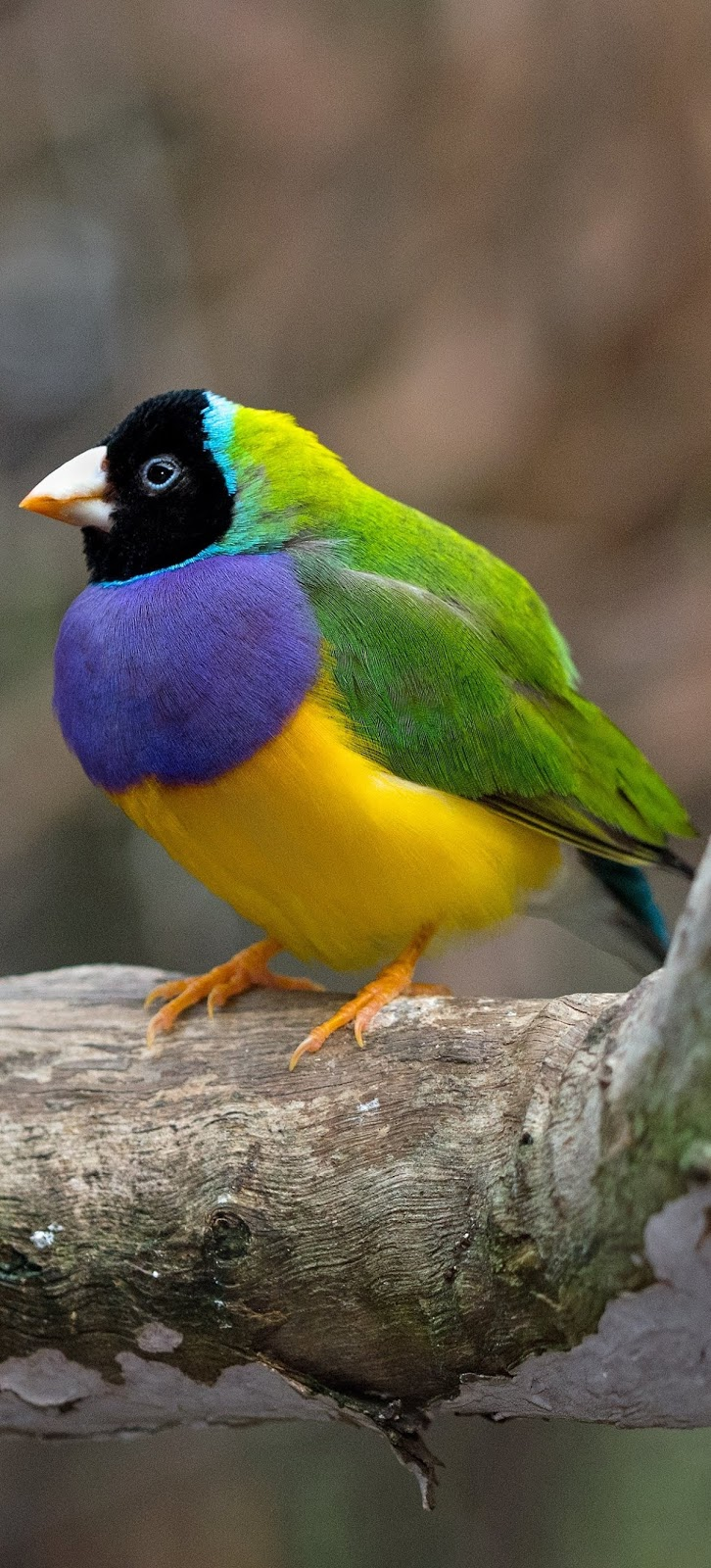 A beautiful gouldian finch.