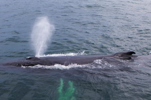 Whale watching da Gloucester-New England