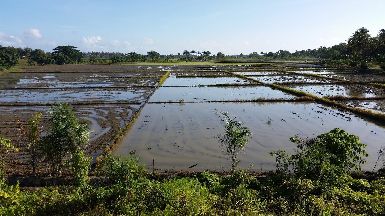 Dominikana Pole ryżowe