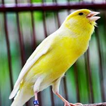 Penyebab Dan Cara Mengatasi Suara Burung Kenari Serak