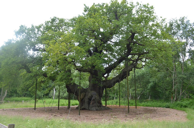 POHON UNIK THE MAJOR OAK