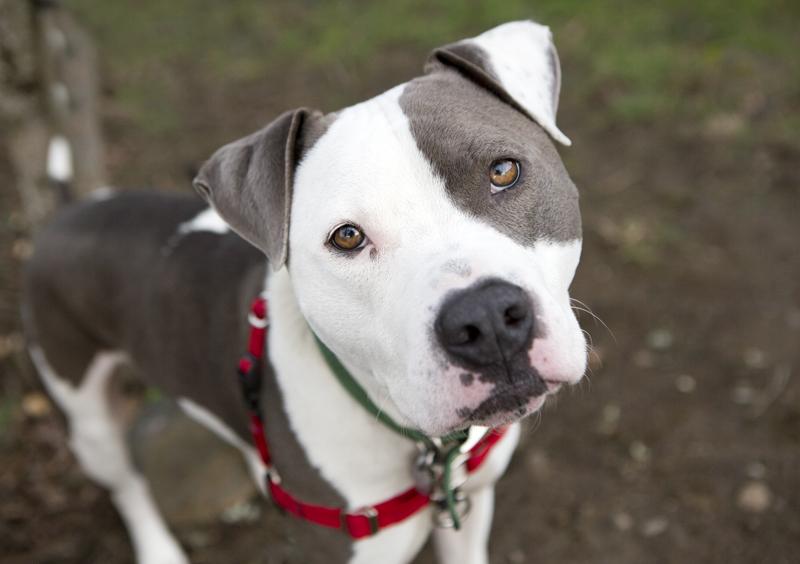 shelter dogs of portland cash a pretty boy