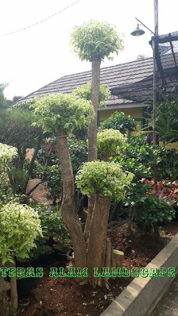 tukang pohon bonsai anting puteri