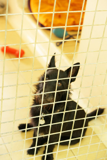 保護犬 テリア シェルター