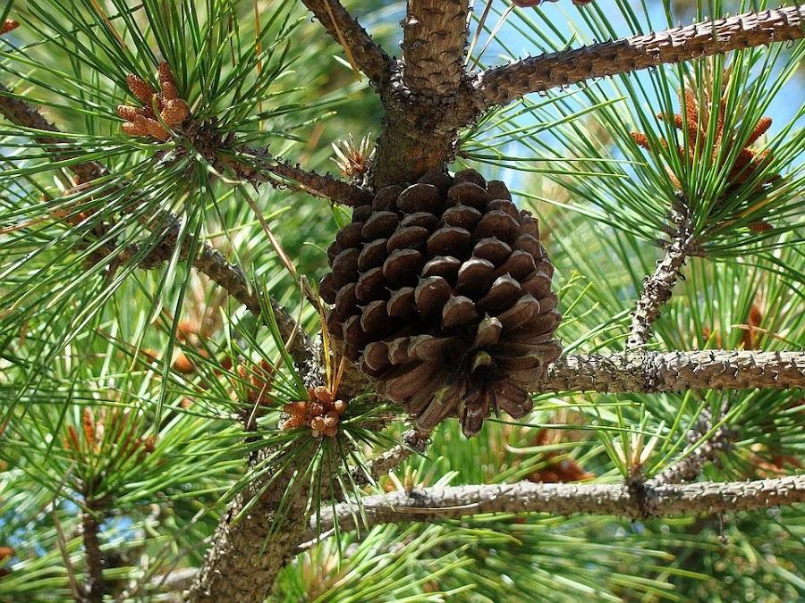 Beneficios del pino