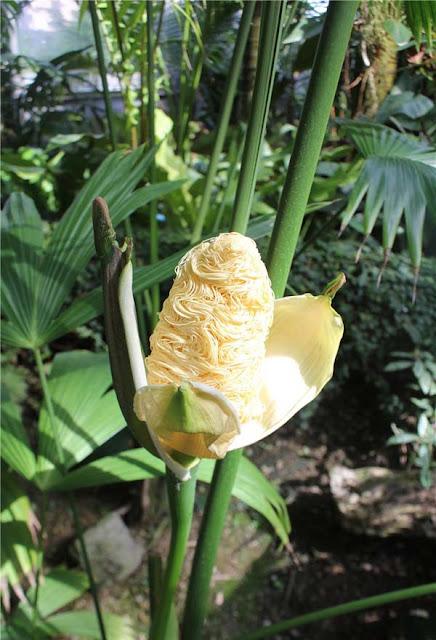 Bí ẩn về loài thực vật kì dị nhìn thôi cũng đủ thấy đói bụng: Bên ngoài như bắp ngô, bên trong lại là mỳ gói
