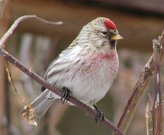 small songbird mostly whitish body darker streaks and red cap over the beak