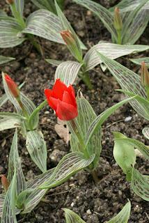 Tulipes Greigii - Tulipa Ali Baba - Tulipe Ali baba - Tulipe de Greig Ali Baba