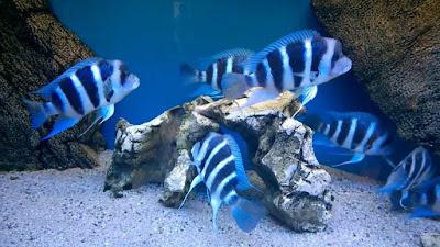 Budidaya Ikan Frontosa
