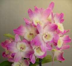 Gambar Bunga Anggrek Dendrobium Nobile
