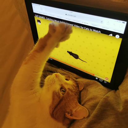 three-legged ginger-and-white cat pawing at mouse on computer screen