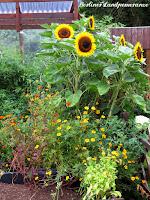 Sonnenblumen und Tagetes