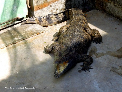 Puerto Princesa Travel Guide: an adult crocodile inside the Palawan conservation center