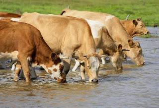 Benefits Of Water To Livestock Animals