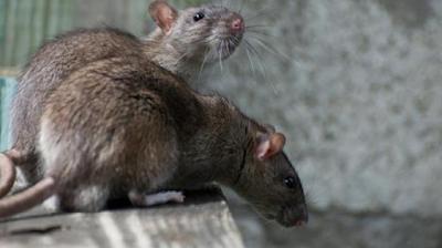 4 Penyakit Yang Ditularkan Melalui Tikus