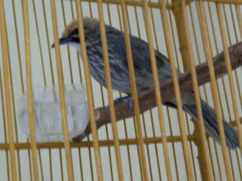 abang kicau mania harga burung anakan cucak rowo terbaru 2017