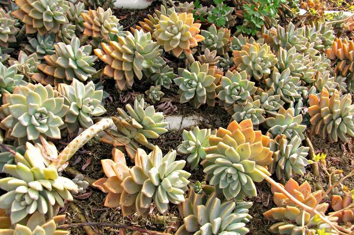 Graptopetalum, Sukulen Cantik Mirip Echeveria