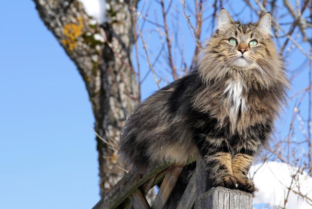 kucing norwegia