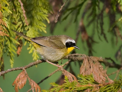 Photo of Common Yellowthroat on cedar branch