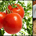 Tomatoes: A World-Wide Staple With Many Widely Known Health Benefits