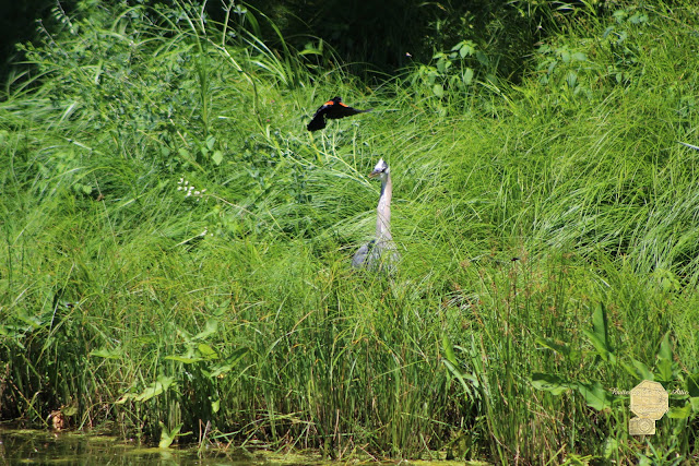 Annoyed - Heron And Red Winged Blackbird 7 Of 10