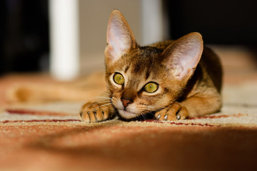 Ile jest ras kotów?