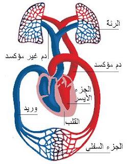 وظيفة القلب