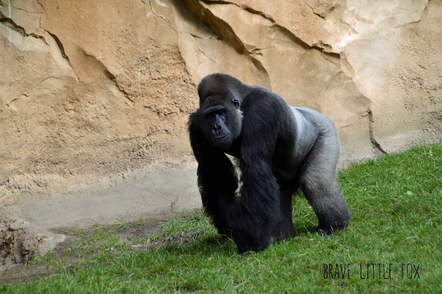 Gorillas Erlebnis-Zoo Hannover