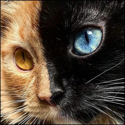 Gata Quimera, amazing beautiful two-faced cat!