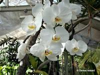 White orchids, Foster Botanical Garden - Honolulu, HI