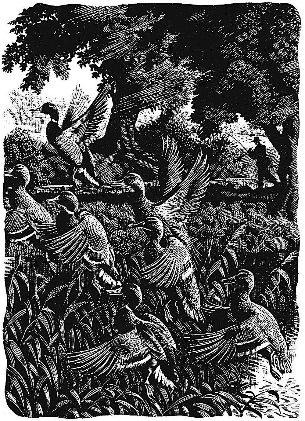 a Charles F. Tunnicliffe illustration of ducks rising from a marsh