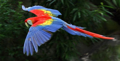 """Burung The Scarlet Macaw"""