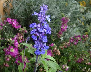 Salvia azul (Salvia farinacea)