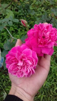 màu sắc hoa hồng leo tường vi