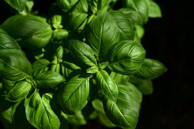 Popular Ayurvedic Medicines/Plants- Basil