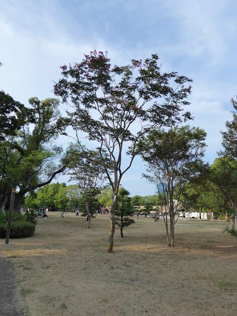 大阪城公園のサルスベリ