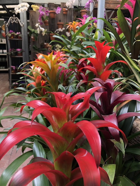 Bromeliads blooming in patio