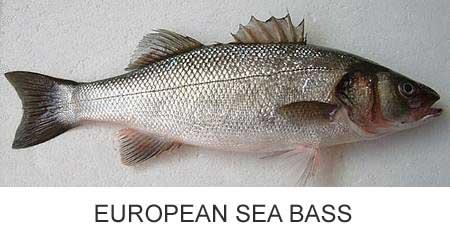 Branzino European sea bass