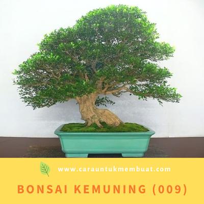 Bonsai Kemuning (009)