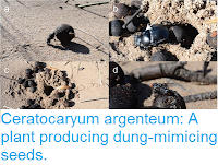 http://sciencythoughts.blogspot.co.uk/2016/08/ceratocaryum-argenteum-plant-producing.html