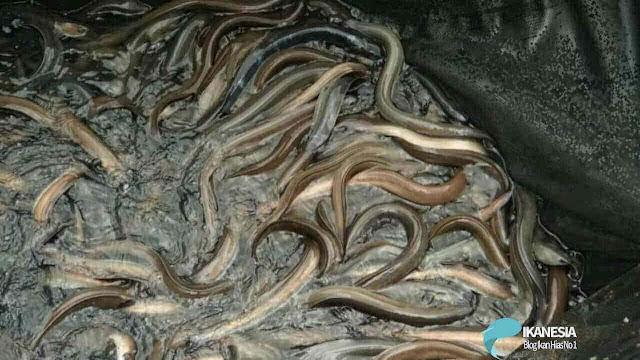 Peluang Bisnis Budidaya Ikan Sidat Menggunakan Kolam Terpal
