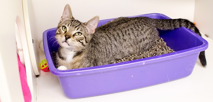 Cara Mengajarkan Kucing Buang Air di Litter Box Agar Kucing Pintar Di Dalam