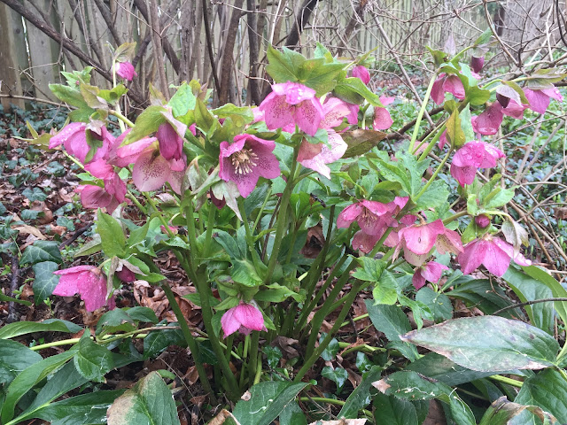 pink helleborus lenten rose