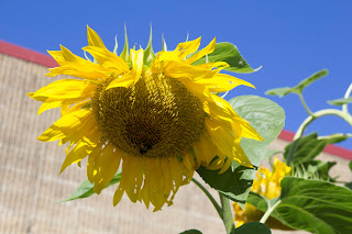Tri-County sunflower