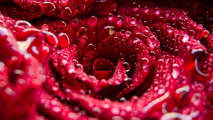 Flor Rosa com Gotas de Orvalho