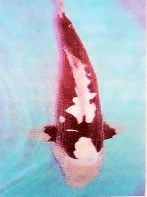 Gambar Keunikan Ikan Koi
